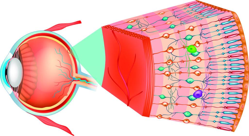 Descubierta una nueva forma por la que nuestros ojos se comunican con el cerebro