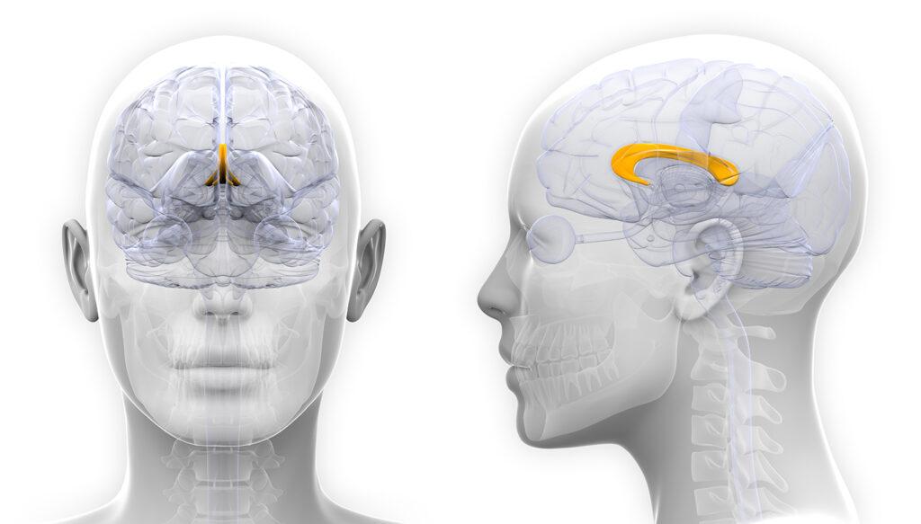 Mejorar la eficacia del Cuerpo Calloso del cerebro